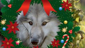 """Wir bitten um Spenden: Vergesst """"Menschen für Wölfe"""" auch an Weihnachten nicht!"""