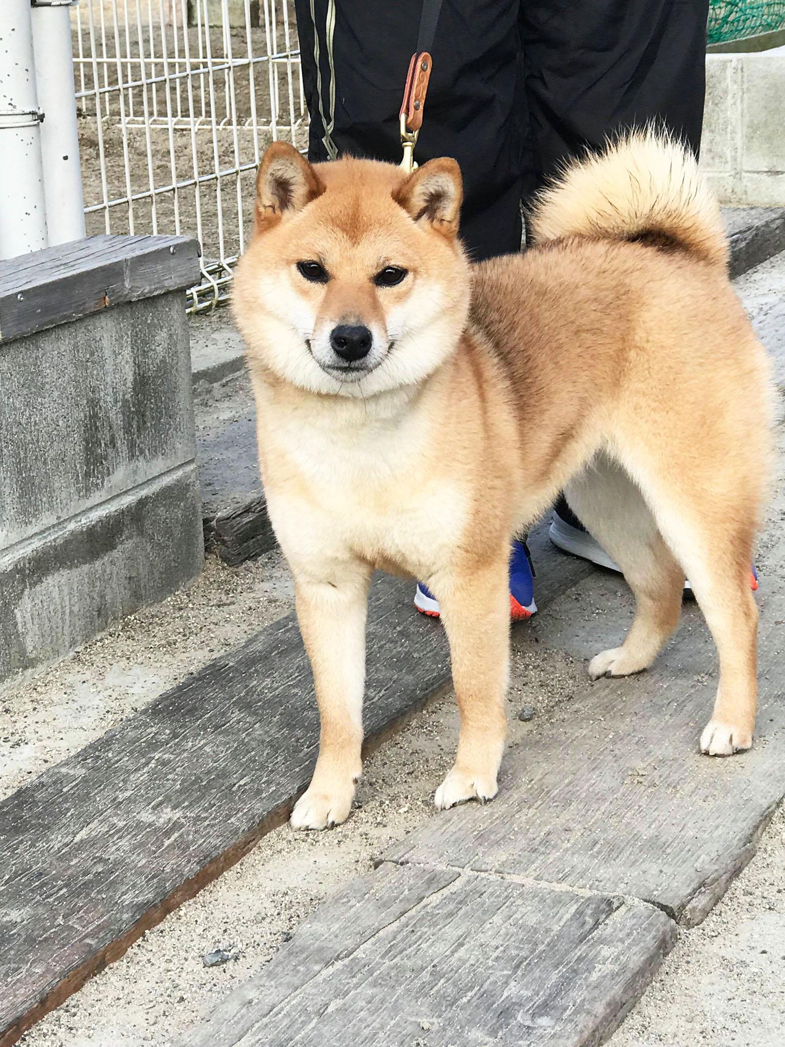 小春ちゃん 柴犬