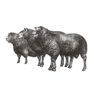 sheep trio 20 x20 print.jpg