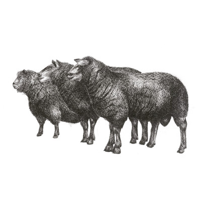 sheep trio 20 x20 print.jpg