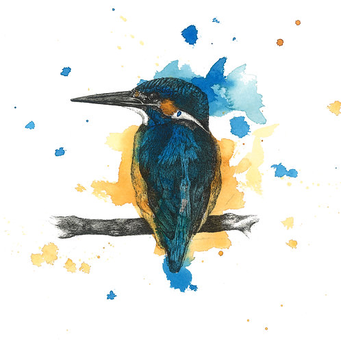 50 x 50cm Sitting Blue Kingfisher Print
