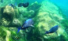 Blue Tangs Fish