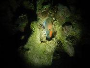 Rainbow Parrotfish sleeping