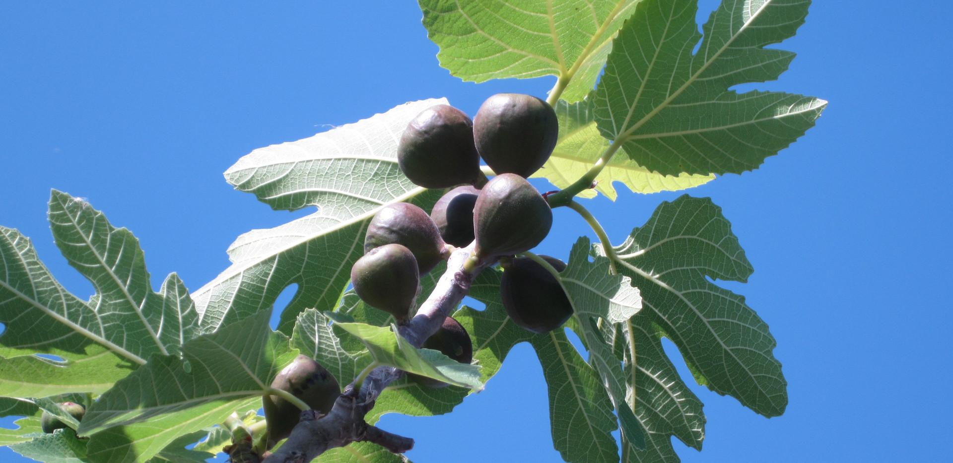 Figs, Israel.JPG