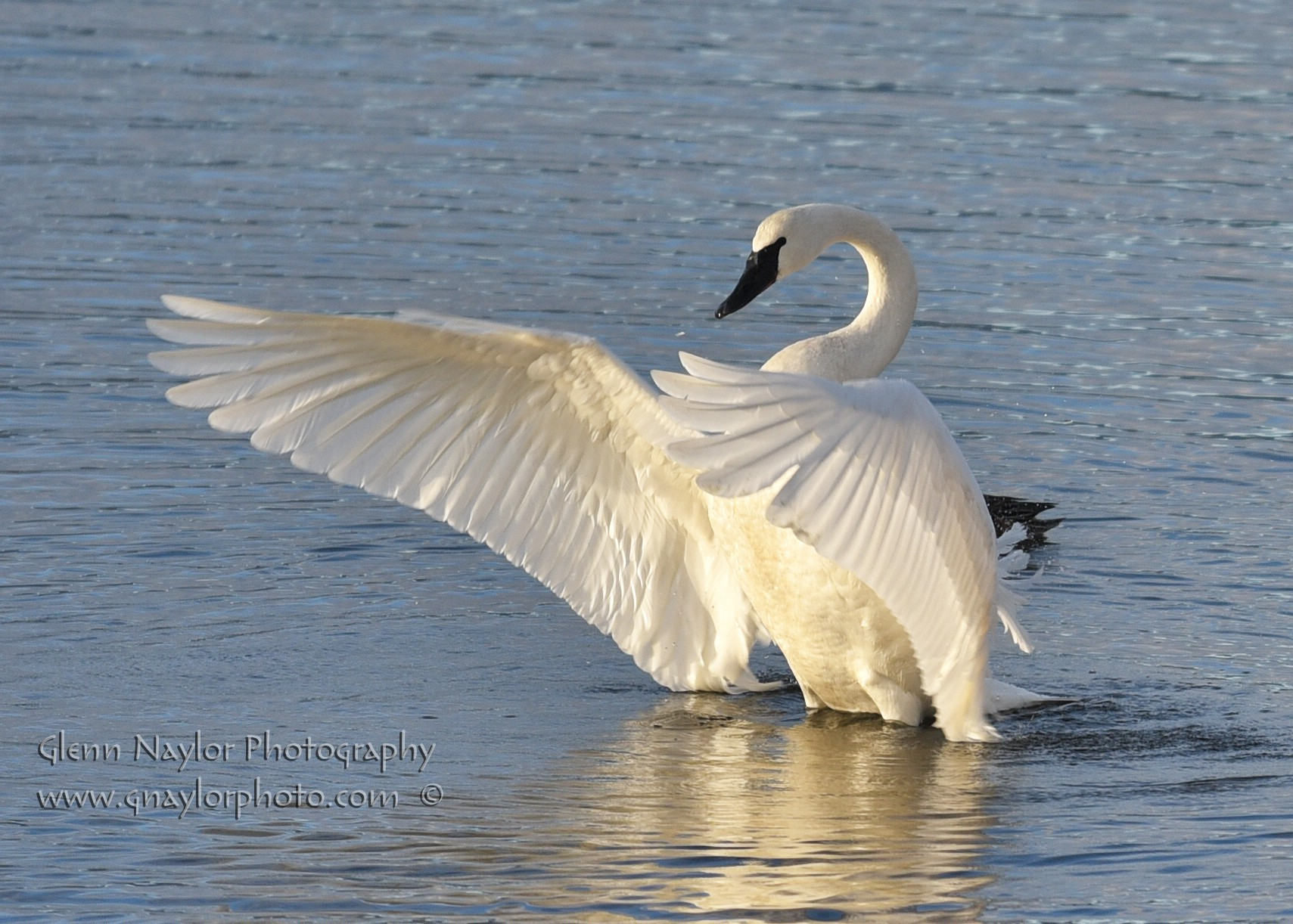 A thing of Beauty, Trumpeter Swan