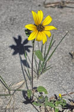 Sunflower, Dinosaur Prov. Park, Ab.