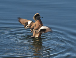 American Widgeon shaking it off
