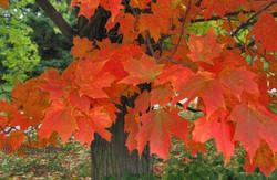 Maple Tree leaves, Ontario