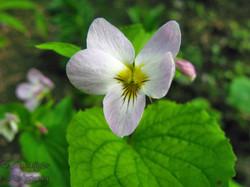 Western Canada Violet