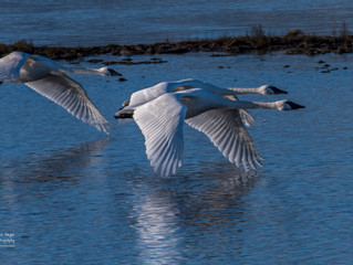 Trumpeter Swan Photography | Canada