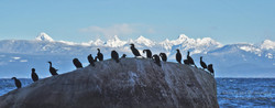 Cormorants enjoying the view, Seal Bay Park