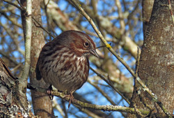 Song Sparrow, Cape Lazo marsh