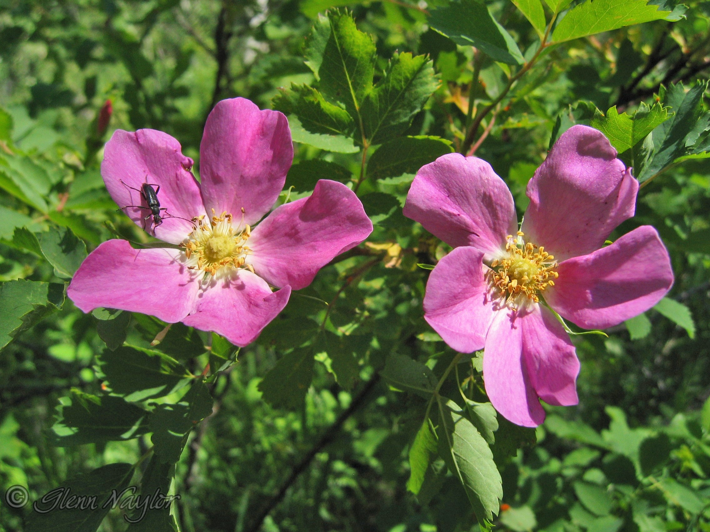 Wild Rose, Bow Valley Prov Pk. Ab.