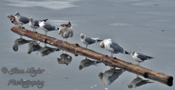 Cleaning Day, Seagulls in Comox Bay