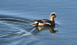 American Widgeon, Comox bay
