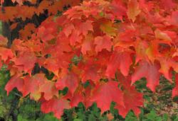 Fall Maple leaves, Ontario