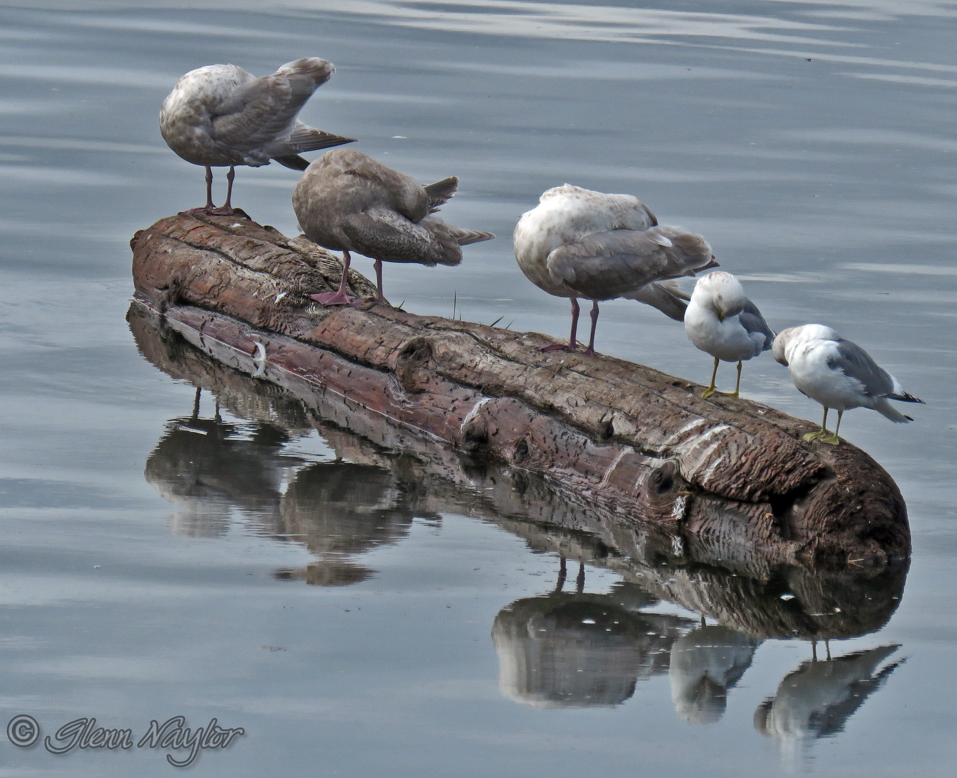 Cleaning Day! Seagulls in Comox Bay