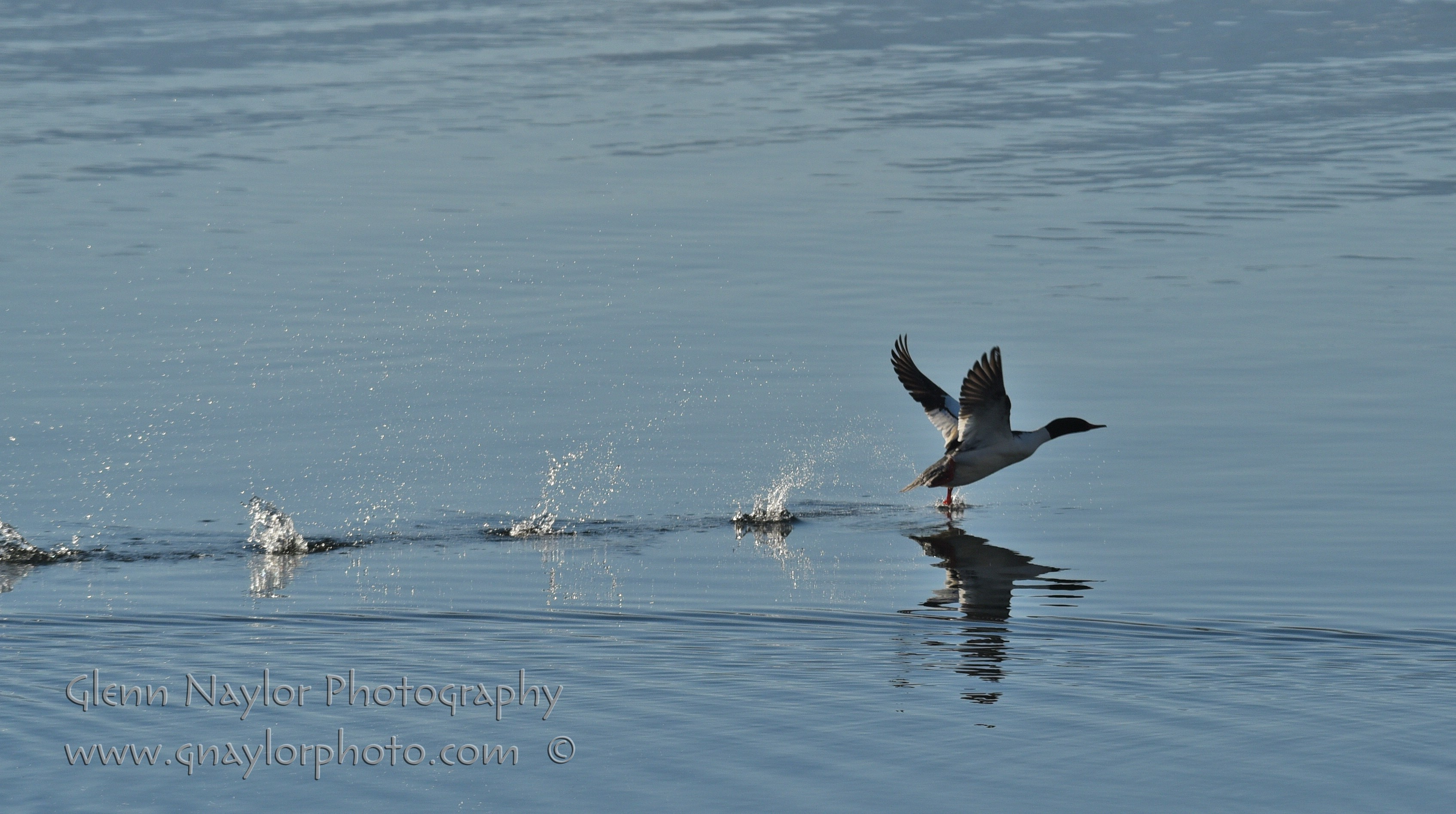 Merganser take off, Comox Bay