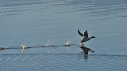 Merganser take off, Comox Bay