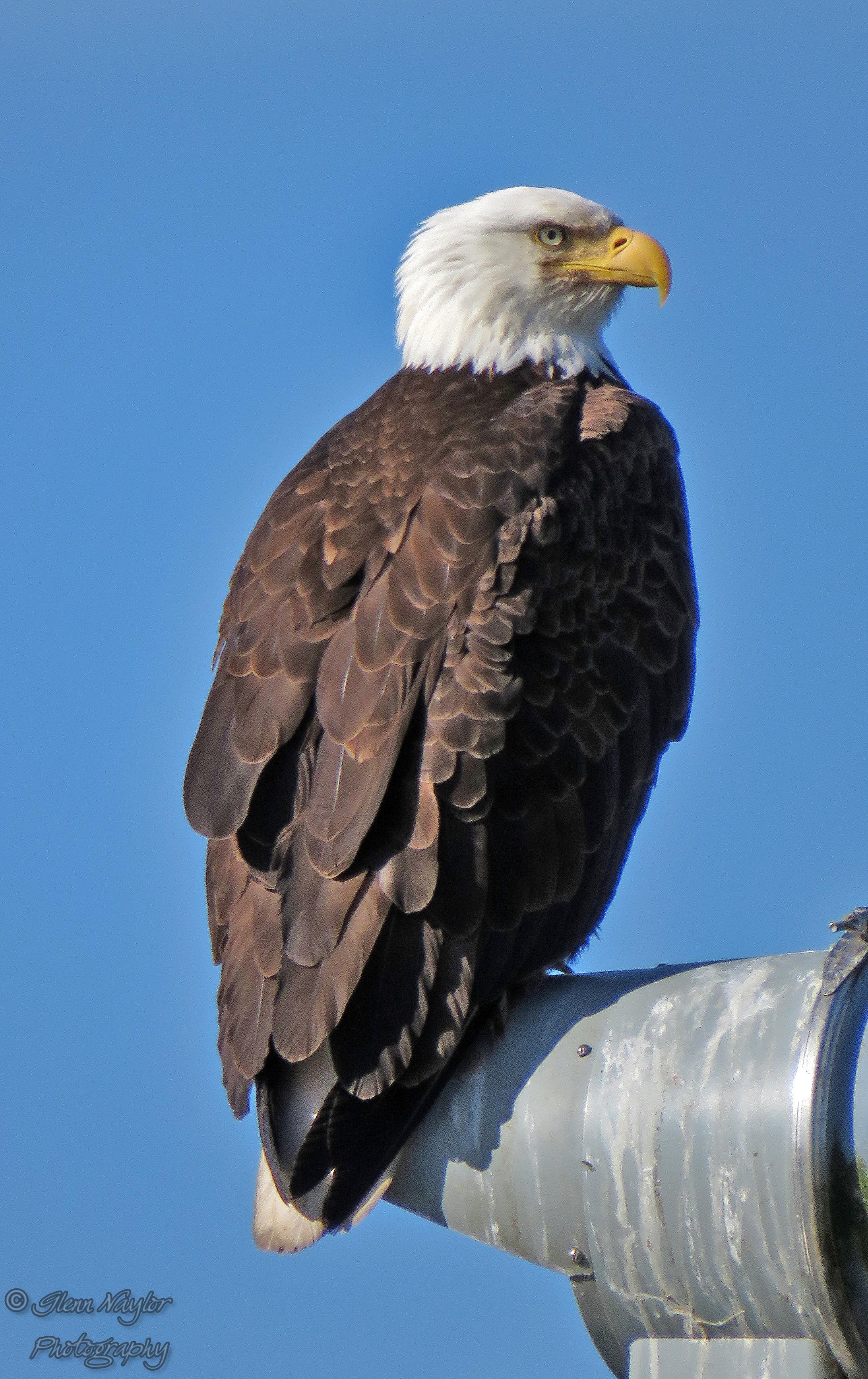 West Coast icon, Bald Eagle, Comox