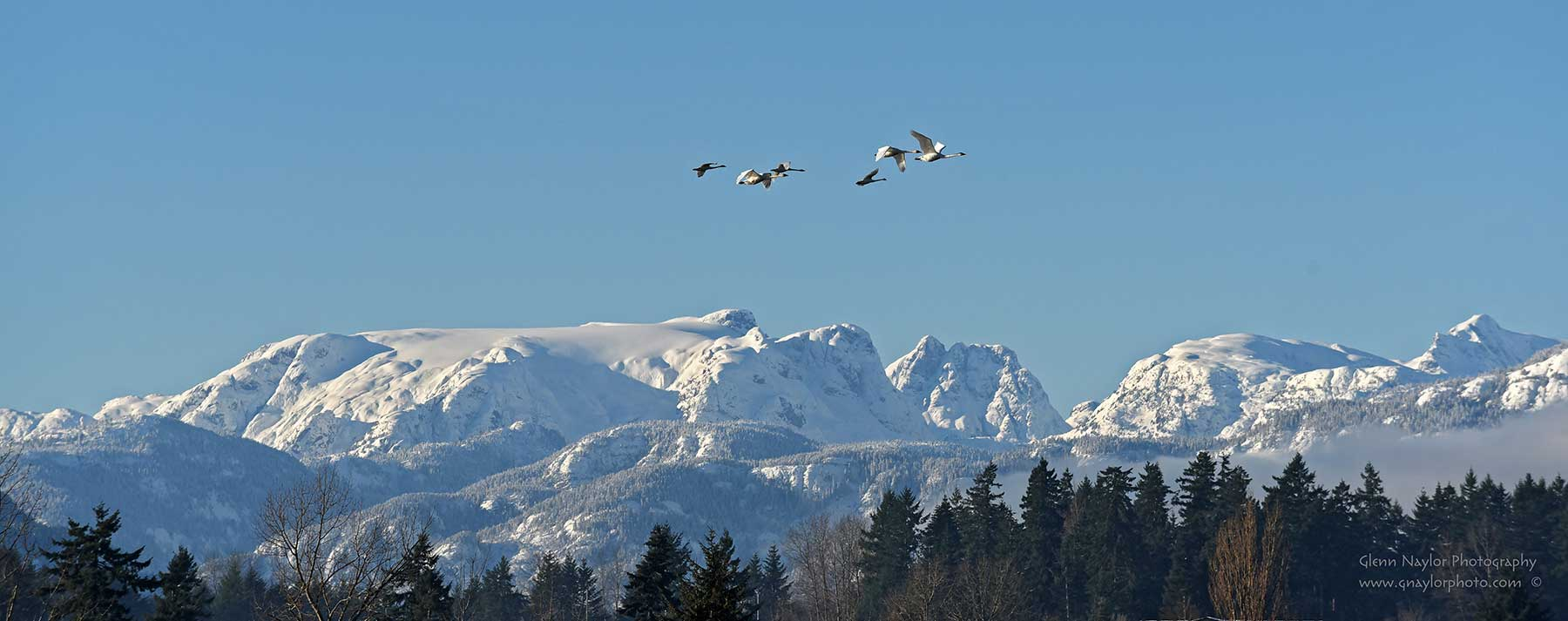 Trumpeter-Swans-over-the-Glacier-B