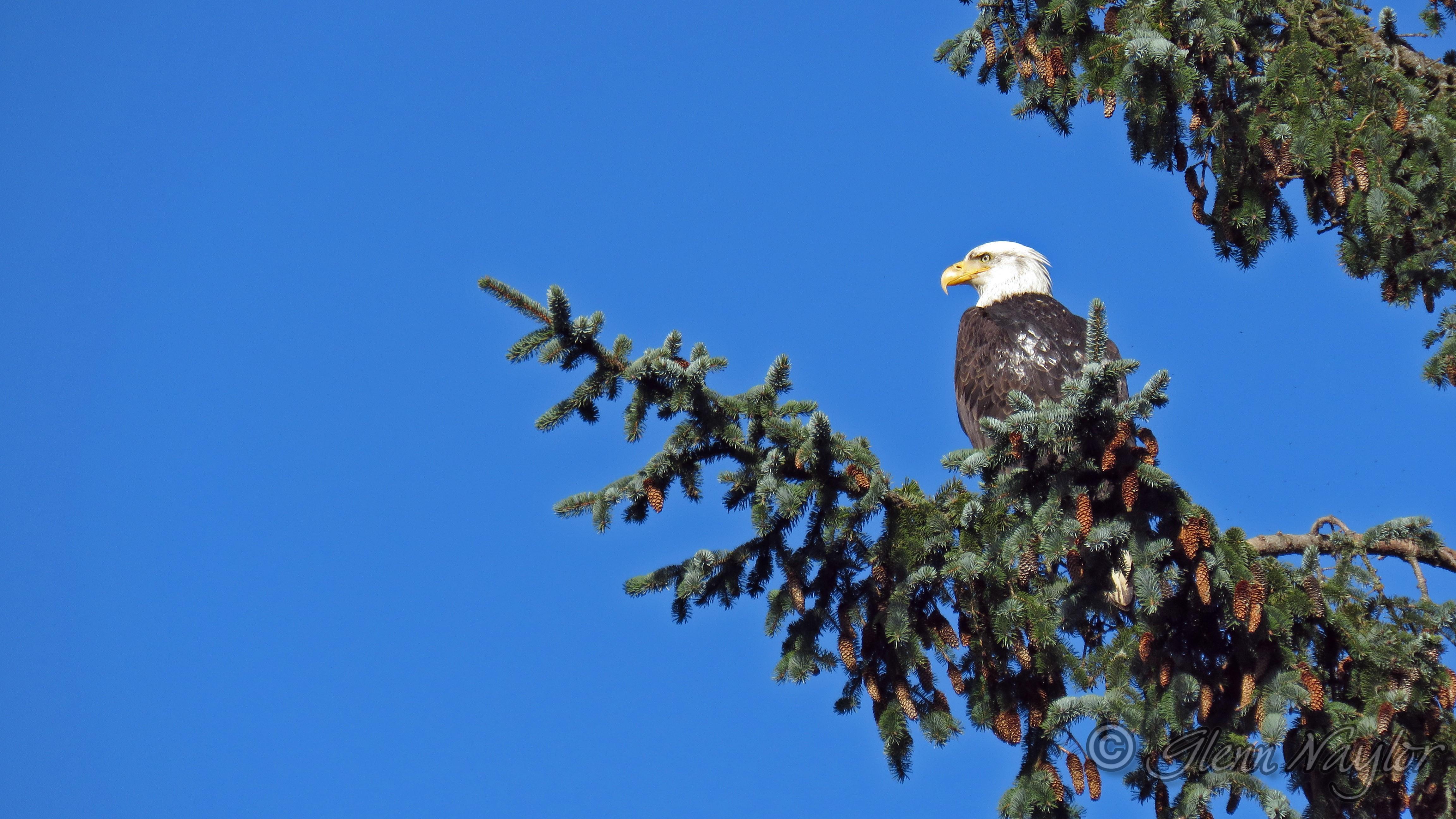 Bald Eagle, Kye Bay, Comox BC