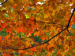Fal Maple leaves, Ontario
