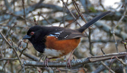 Spotted Towhee, Cape Lazo marsh