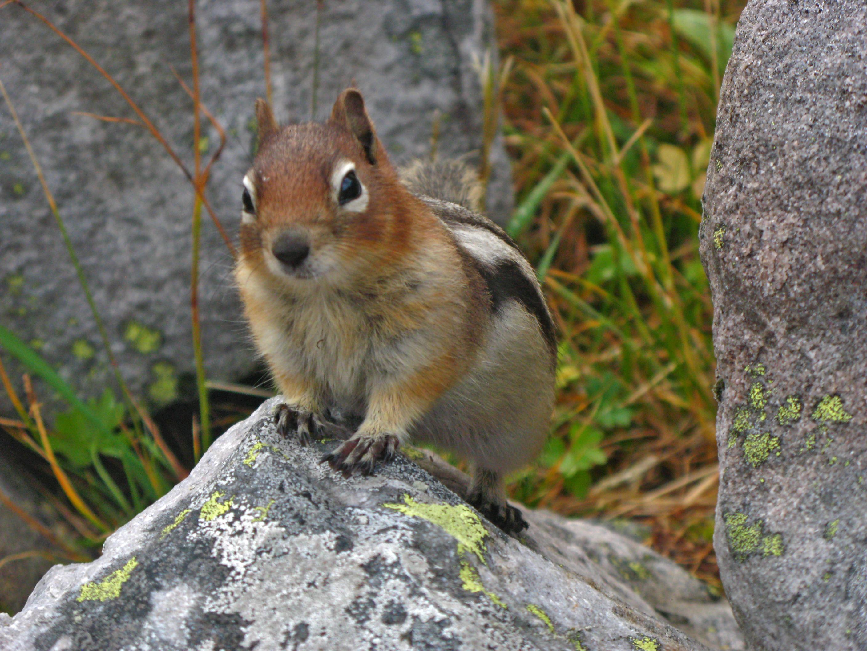 Ground Squirrel, Lake Louise Ab.