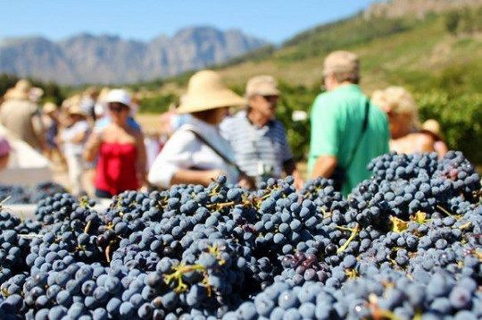 Wine Tours in Provence, grapes