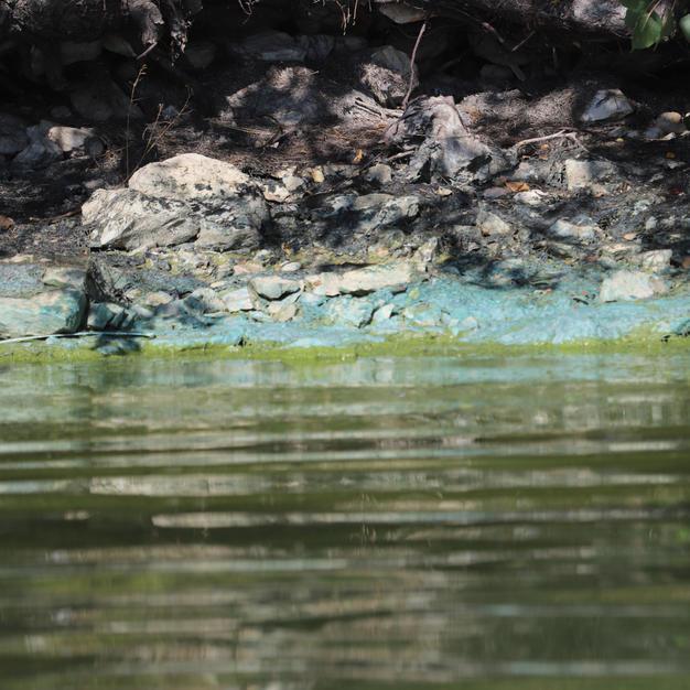 Bluegreens on shoreline