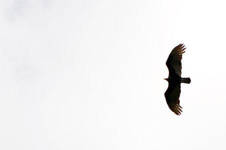 Pampas Jungle Eagle