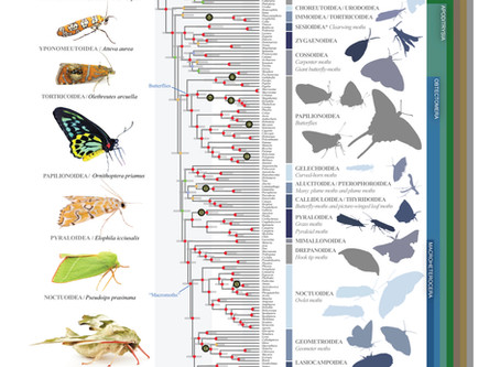 Food or predator, which one has been driving the evolution of moths and butterflies?