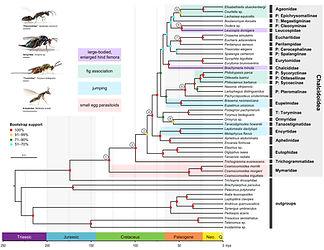 1KITE-Hymenoptera-Chalcidoidea_Peters et