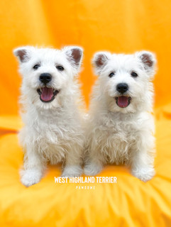 West Highland Terrier from UK