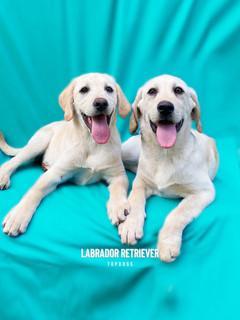 Labrador from Australia