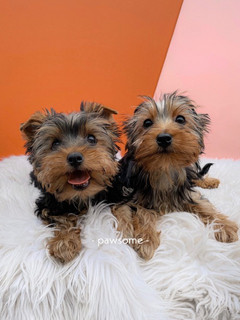 We welcome our Yorshire Terriers once again!!!