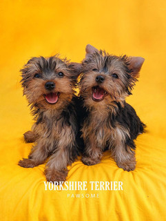 Yorkshire Terrier from Ireland