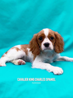 Cavalier King Charles from UK