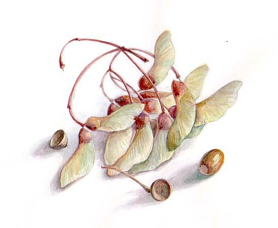 Семена клёна акв.б