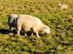 London-Sheeps