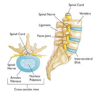 Intervertebral_disc_anatomy.jpg