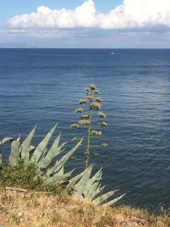Agave sur les hauteurs de la plage du Scalettu, Tomino