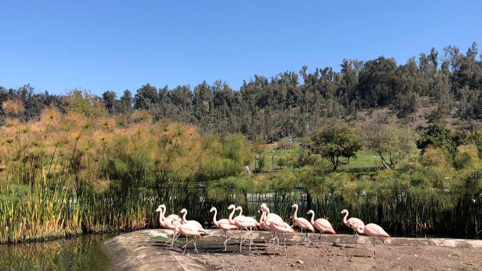 flamingos chilenos