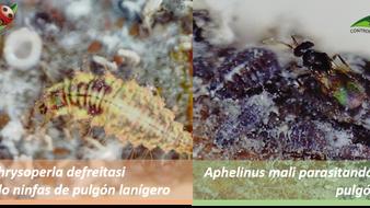 Ácaros fitófagos el gran desafío de esta Temporada en Manzano