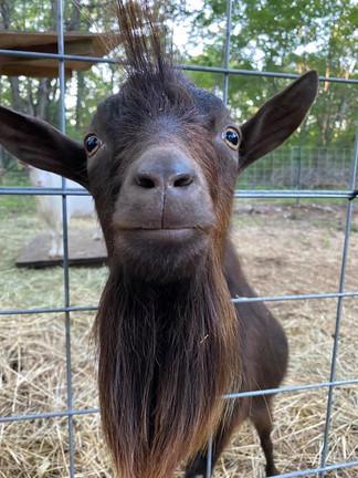 MLF Goat