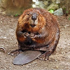 220px-American_Beaver.jpg