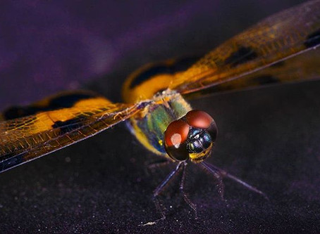 Dragonfly- colorful insect with 360 degree field of vision