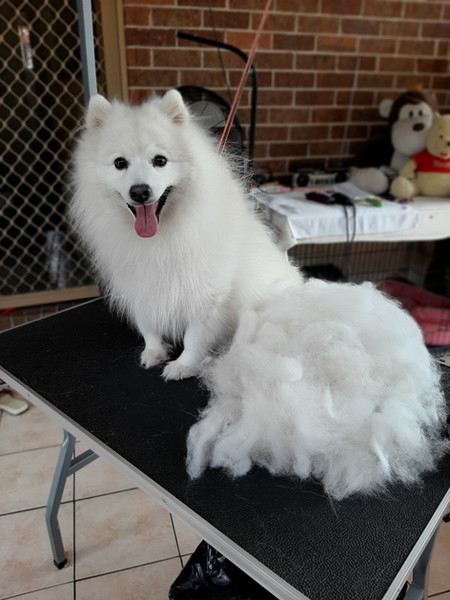 Japanese Spitz after deshedding