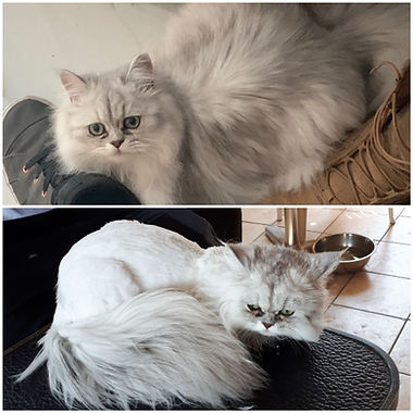 Chinchilla cat before and after grooming